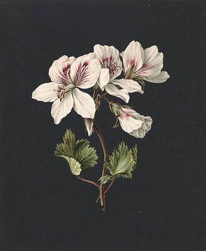 Pelargonium album bicolor, M. de Gijselaar sur