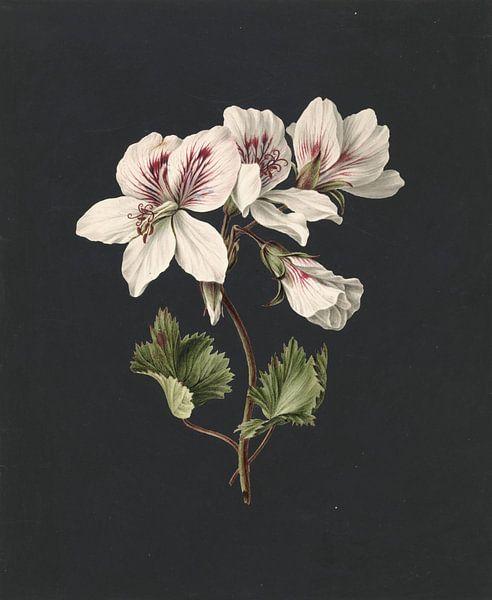 Pelargonium album bicolor, M. de Gijselaar van Meesterlijcke Meesters