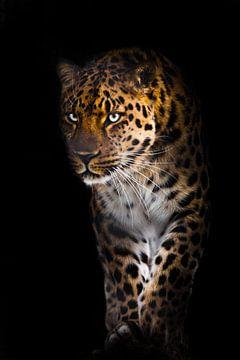Leopard mit bläulich grün leuchtenden Augen selbstbewusst und plötzlich aus der Dunkelheit der Nacht von Michael Semenov