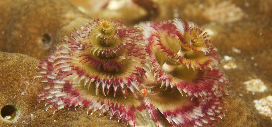 Kerstboom wormen tussen het koraal