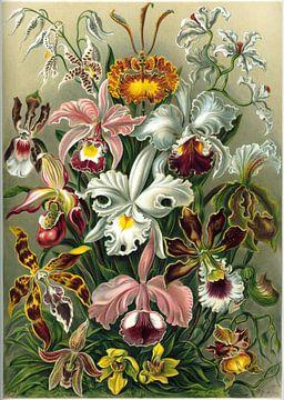 Orchid, Ernst Haeckel van Meesterlijcke Meesters