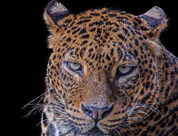 Leopard, Panther. Große Katze von Gert Hilbink