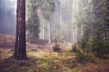 Mysteriöser Wald mit Nebel zwischen den Bäumen von iPics Photography