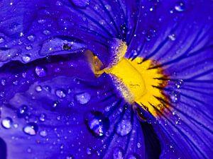 Paars viooltje met regendruppels