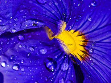 Paars viooltje met regendruppels van Jessica Berendsen
