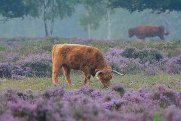Schotse Hooglander in bloeiende paarse heide van