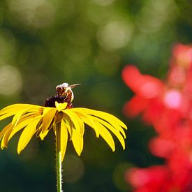 Bloemetje en Bijtje / Echinacea paradoxa von Tonny Swinkels