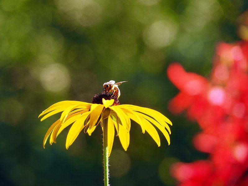 Bloemetje en Bijtje / Echinacea paradoxa van Tonny Swinkels