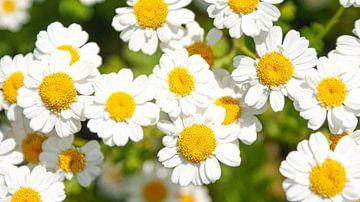 Ein fröhlicher Strauß Gänseblümchen. von Liv Jongman