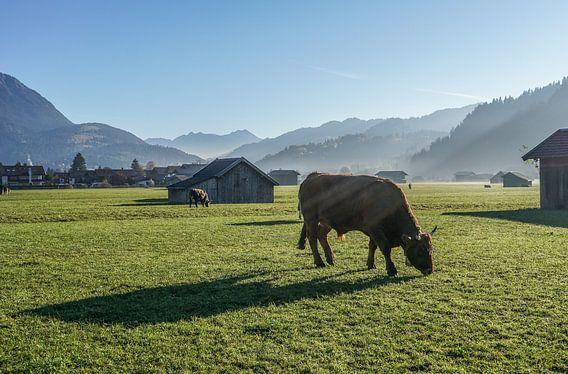 Kuh im Herbst