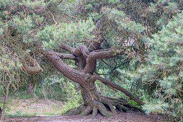 oude naaldboom met vergroeide stam en dikke wortels, op het mantingerveld van Hanneke Luit