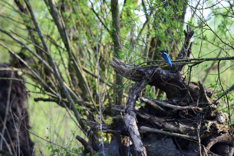 Kleine Ijsvogel van Gerard de Zwaan