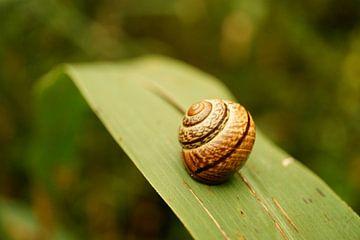 Gros plan de la coquille d'escargot sur un roseau sur ViLa