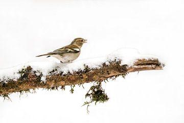 Fink im Schnee von Albert Beukhof
