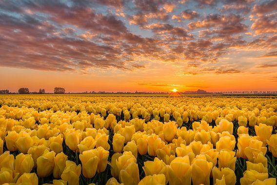 Gekust door de zon gele tulpen van Costas Ganasos