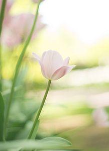 Lichtroze tulp van