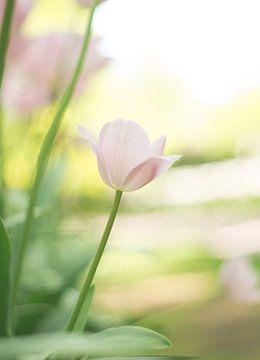 Lichtroze tulp von Valqueira van der Does
