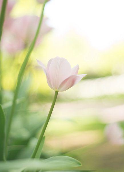 Lichtroze tulp van Valqueira van der Does