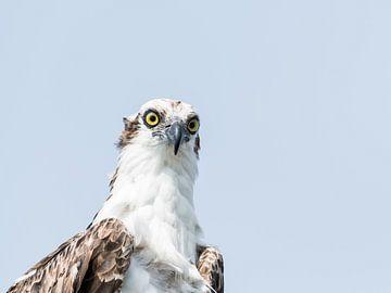 Osprey sur Hennie Zeij