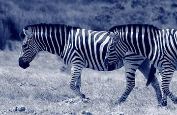 Laufende Zebras von Olaf Franke
