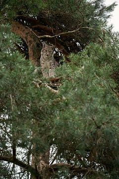 Luchs ( Lynx lynx ) ruht, sitzt, versteckt sich hoch oben in einem Baum, schaut abwartend herab, Eur von wunderbare Erde