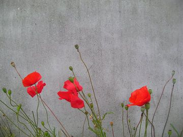 Rode klaprozen von Dennis Rietbergen