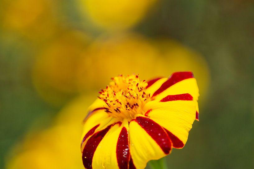 Rood gele bloem van Anneke Hooijer