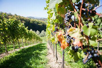 Wijngaard van Mark Koghee