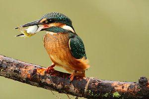 IJsvogel heeft vis gevangen