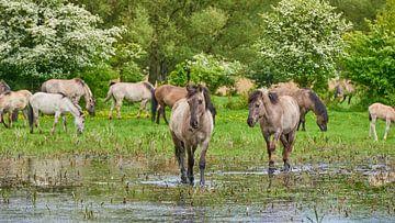 Durch das Wasser wandernde Konik-Pferde von Jenco van Zalk