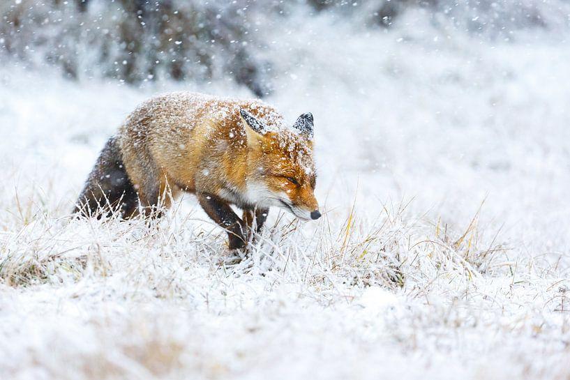 Vos tijdens een sneeuwstorm van Pim Leijen
