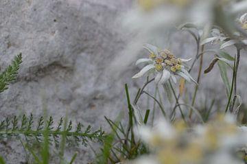 Edelweiss von Suzan (Suus) Buskes