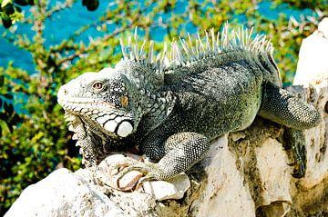 Leguan in Lagun, Curaçao von Joke Van Eeghem