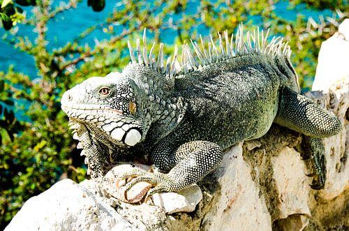 Iguana van Joke Van Eeghem