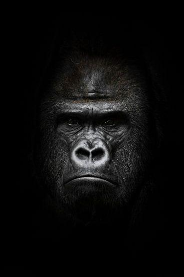 gezicht in het donker. Portret van een krachtige dominante mannelijke gorilla (fysionomie), streng g