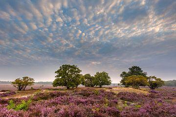 Blühende Zuiderheide von Andy Luberti