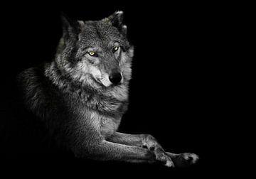 Observer. La femelle louve est magnifiquement couchée sur le sol, imposante. Animal gracieux et puis sur Michael Semenov