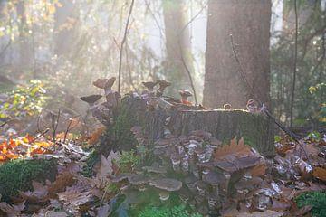 Goldenes Sonnenlicht auf Honigpilze an Baumstämmen im nebligen Herbstwald in der Morgensonne von John Ozguc