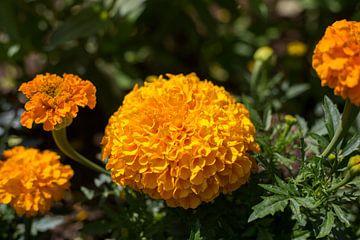 Orangenblume im Blumengarten von Yannick uit den Boogaard