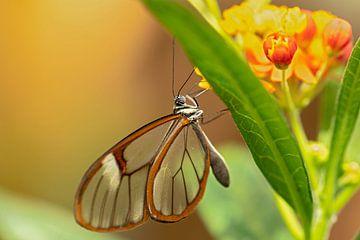 glasvleugel vlinder van gea strucks