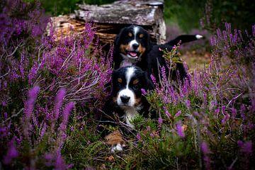 Twee puppy's in de heide van Danai Kox Kanters