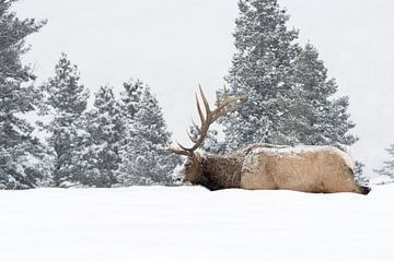 Wapiti ( Cervus canadensis ), amerikanischer Hirsch im Winter, Yellowstone NP, Wyoming,USA. von wunderbare Erde