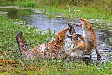 Vossen in gevecht sur