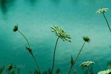 Fleurs blanches sur l'eau sur Nora Verhoef