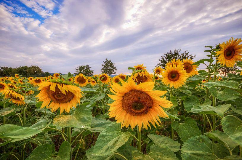 Sunflowers van Steffen Gierok