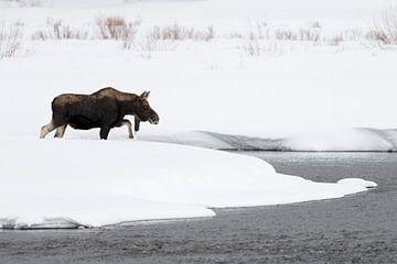 Eland ( Alces alces ), jonge stier in de winter, het oversteken van een rivier in zware sneeuw, Yell van wunderbare Erde