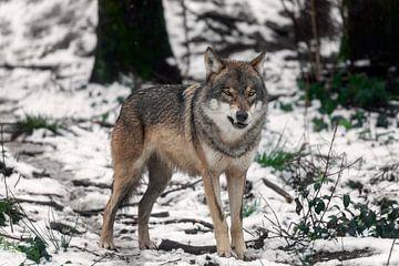 Wolf mit einem Grinsen von gea strucks