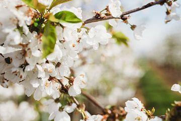 Prachtige kersenbloesems in bloei! van Anke Kaal