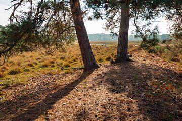 Stammen van twee grove dennenbomen op een zonnige herfstdag in een Nede van Ruud Morijn