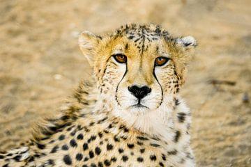 cheetah, eye see you van Leo van Maanen